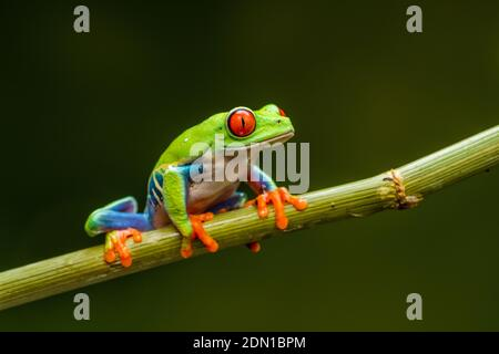 Red-eyed tree frog (Agalychnis callidryas) - closeup with selective focus.