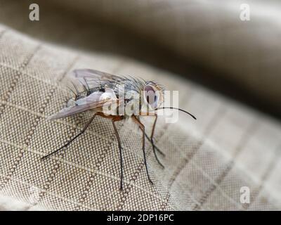 Parasite fly / Tachinid fly  (Prosena siberita) with long proboscis, a parasite of chafer beetles, resting on photographer's leg, Wiltshire, UK. - Stock Photo
