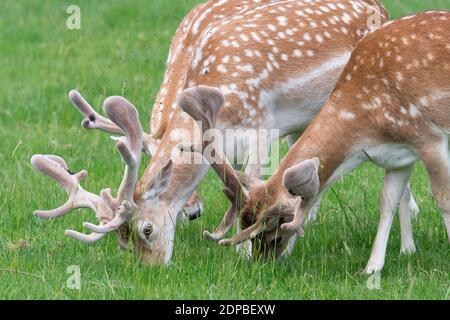 Deer Grazing In A Field