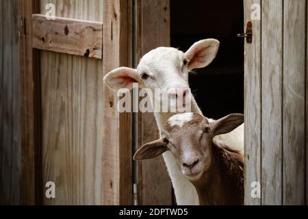 Close-up Of Goats.