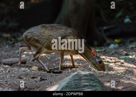 Lesser mouse-deer (Tragulus kanchil) walking in real nature at Kengkracharn National Park,Thailand Stock Photo
