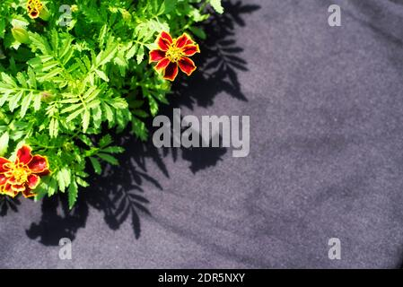 Red and yellow french marigolds, Tagetes patula, blooming in a garden against a blackground on a sunny new england day in connecticut. - Stock Photo