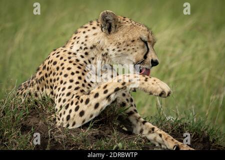 Close-up of cheetah on mound licking paw - Stock Photo