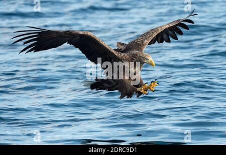 Adult White-tailed eagle fishing. Blue Ocean Background. Scientific name: Haliaeetus albicilla, also known as the ern, erne, gray eagle, Eurasian sea eagle and white-tailed sea-eagle. Natural habitat - Stock Photo