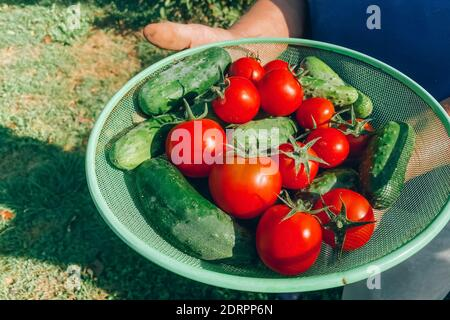 Farmer holding a bowl filled with homegrown fresh vegetables - organic tomatoes and cucumbers at the home garden. Growing tomatoes in the greenhouse -