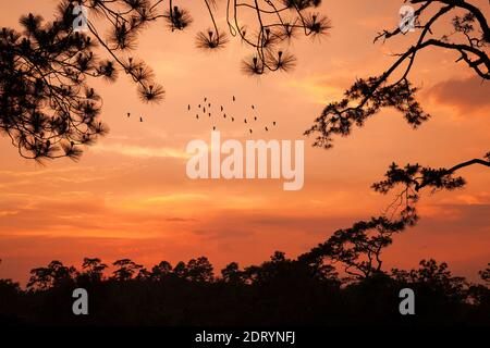 silhouette landscape pine forest with colorful sky and cloud with birds group - Stock Photo