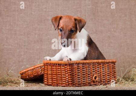 A small puppy of breed smooth-haired fox-terrier of white color with red spots sits in a basket on burlap and hay