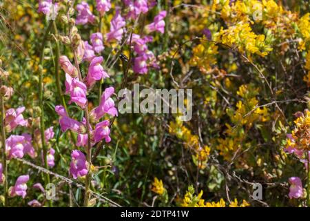 Antirrhinum majus subsp.litigiosum, Large snapdragon Plant in Flower - Stock Photo