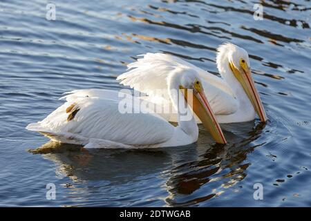 American White Pelicans Swimming and Foraging in the Lake