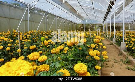 Field of growing bright orange blooming flowers. Tagetes erecta or marigold plantation. In Mexico tagetes used for traditional decoration for Day of D
