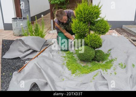 Kleine Lebensbäume oder Thuja in Form geschnitten auf einer Wiese. - Stock Photo