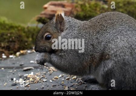 Grey squirrel eating bird feeder spills