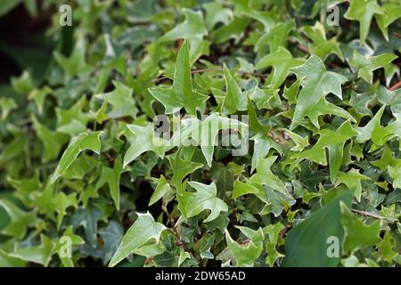 Creeping shrubs clinging to their adventitious roots of the walls. Stock Photo