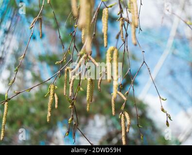young birch branches with earrings, buds and leaves on blue sky background, selective focus. - Stock Photo