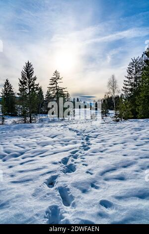 winter in the high moor of Bildstein. snowy landscape with meadow and single tree, forest and foot trails. verschneites Hochmoor in Vorarlberg Austria - Stock Photo