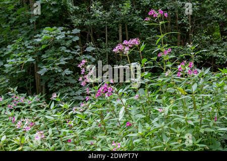 Drüsiges Springkraut, Impatiens glandulifera Stock Photo