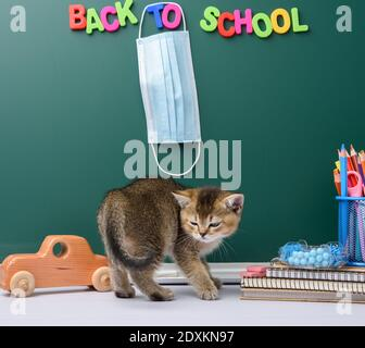 cute kitten scottish golden chinchilla straight sitting, background of green chalk board and stationery, back to school, medical mask hanging on the b