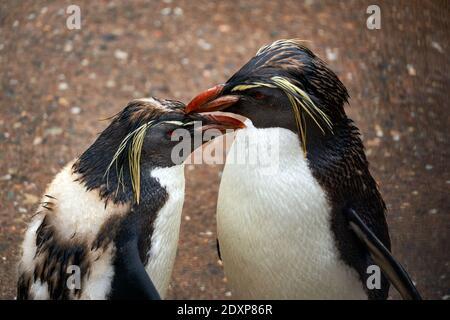 Two Northern Rockhopper Penguins in captivity in RZSS Edinburgh Zoo, Scotland, UK