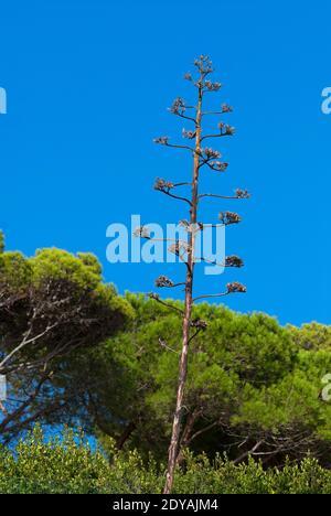 American agave flowering (Agave americana), maguey, Elba Island,Tuscany, Italy Stock Photo