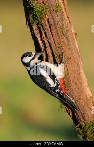 An adult male Great spotted Woodpecker (Dendrocopos major) on a tree trunk in a garden in the UK