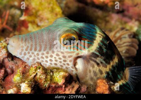 Black-Saddled Toby, 'Canthigaster valentini', Sleeping On Corals, Close Up, Lembeh, Manado, North Sulawesi, Indonesia