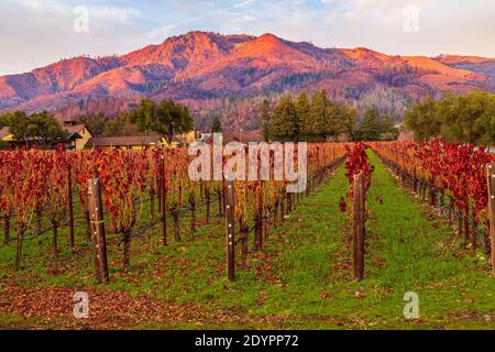 Vineyards bathed in the glory of autumn golden light Napa Valley
