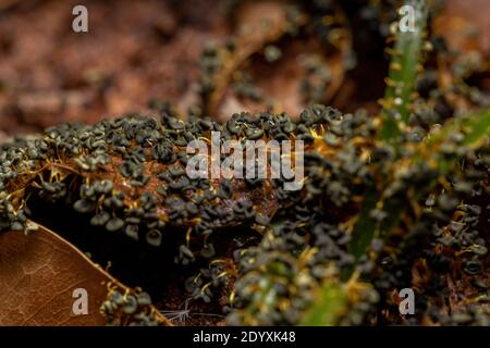 Sporangia of the Many Headed Slime of the species Physarum polycephalum scattered on dry leaves on the ground