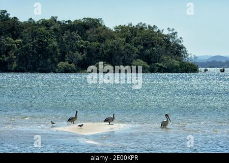 Australian Pelicans (Pelecanus conspicillatus) standing on a sand bar, Rainbow Beach, Queensland, QLD, Australia - Stock Photo