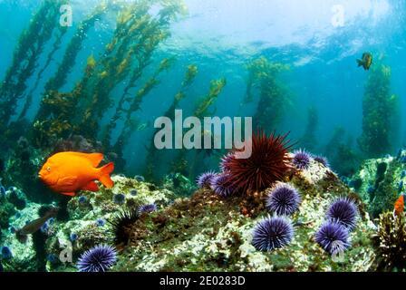 Garibaldi damselfish (Hypsypops rubicundus)  swimming in kelp forest in the Channel Islands National Marine Park - Stock Photo