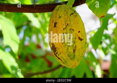 A ripe yellow cocoa pod an a branch in a cocoa plantation on a sunny day, ready to be picked and make into chocolate powder. Stock Photo