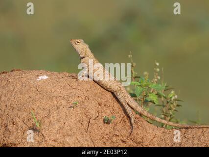 Common garden lizard closeup shot