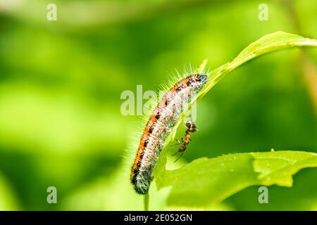 An orange haired caterpillar sits on a leaf on the other side an ant is walking, selective focus