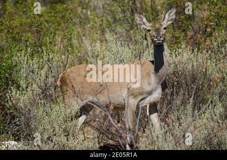 Spanish red deer Cervus elaphus hispanicus. Hind. Monfrague National Park. Caceres. Extremadura. Spain. - Stock Photo