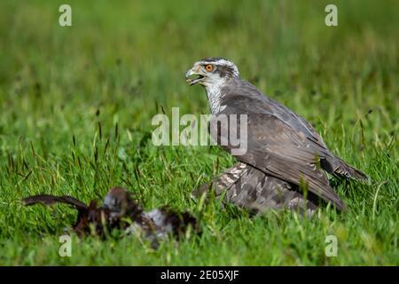 Goshawk or Northern Goshawk Accipiter gentilis mantling prey on the grass taken under controlled conditions, captive