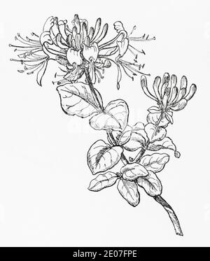 Old botanical illustration engraving of Honeysuckle, Woodbine / Lonicera periclymenum. Traditional medicinal herbal plant. See Notes - Stock Photo