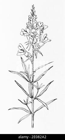 Old botanical illustration engraving of Yellow Toadflax / Linaria vulgaris. Traditional medicinal herbal plant. See Notes - Stock Photo