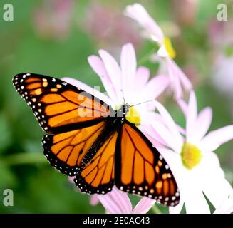 Monarch Butterfly on Pink Daisies