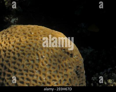 nice big giant coral pattern in the red sea