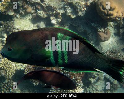 beautiful giant green glowing fish in the red sea
