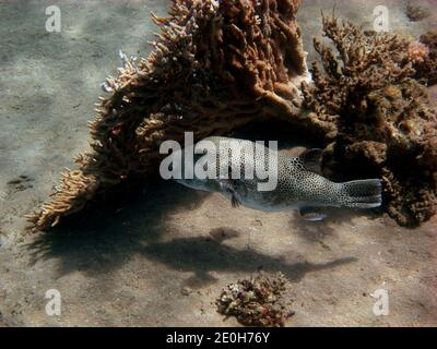 giant pufferfish swims past the side