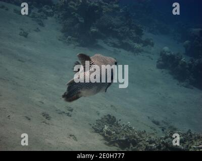 giant pufferfish in the red sea from behind