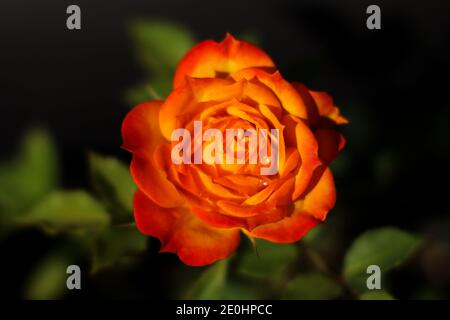 Yellow orange red rose Flower blossom pair with green leaves on black background. valentine day concept, selective focus. - Stock Photo