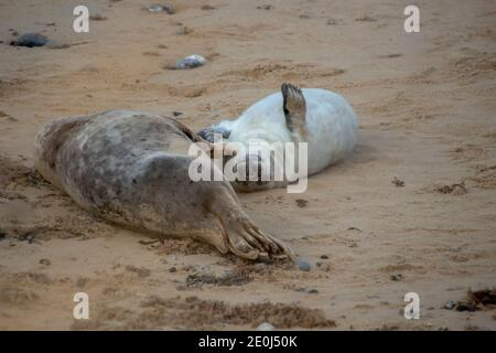 Grey Seals (Halichoerus grypus) on a beach in Norfolk, UK - Stock Photo