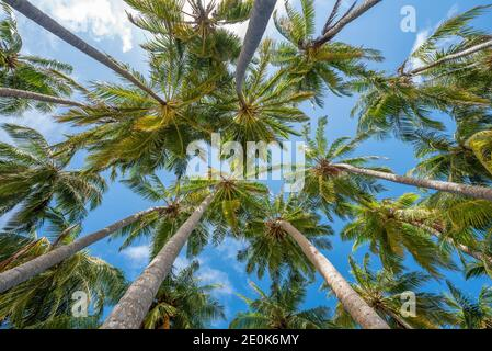 Coconut palm trees on the beach at Lankanfinolhu island, Maldives