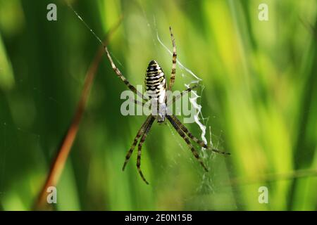A female wasp spider in her web in summer in Bavaria
