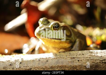 American bullfrog (Lithobates catesbeianus) in freshwater lake of North America - Stock Photo