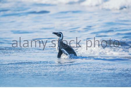 Magellanic penguin (Spheniscus magellanicus) walking, Sea Lion Island, Falkland Islands, South America