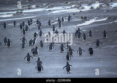 Gentoo Penguins (Pygocelis papua papua) walking, Sea Lion Island, Falkland Islands, South America