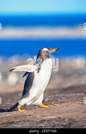 Gentoo penguin (Pygocelis papua papua), carrying nesting material, Sea Lion Island, Falkland Islands, South America