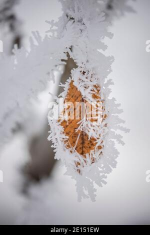Thick hoarfrost covers a brown leaf still hanging on to a tree. - Stock Photo